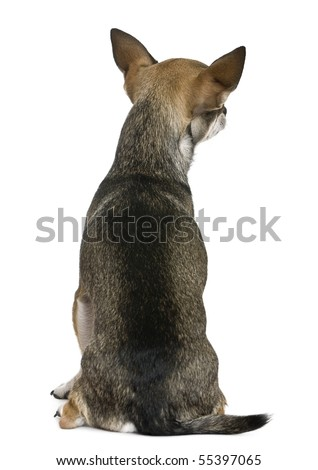 Chihuahua, 3 years old, sitting, rear view in front of white background
