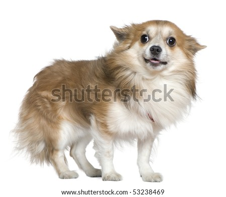 Chihuahua, 4 years old, standing in front of white background #53238469