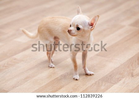 Chihuahua, 1 years old, standing on floor