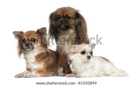 Black Pekingese Chihuahua