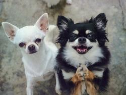 Chihuahuas of two adorable white short hair and black tan cream long hair