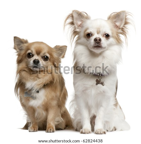 Chihuahuas, 7 years old, 6 years old, sitting in front of white background