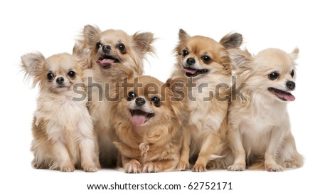 Chihuahuas, 14 years old, 11 years old, 5 years old, 3 years old, 1 year old, sitting in front of white background - stock photo