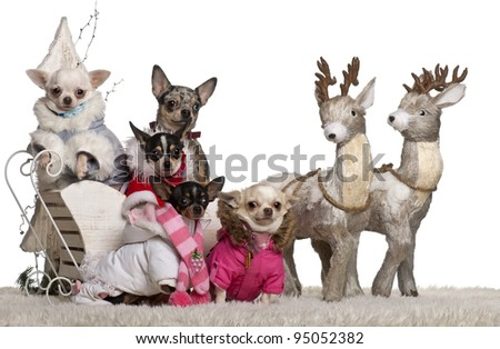 Chihuahuas, 4 years, 1.5 years and 2 years old with Chihuahua puppies, 8 months and 10 months old, in Christmas sleigh in front of white background