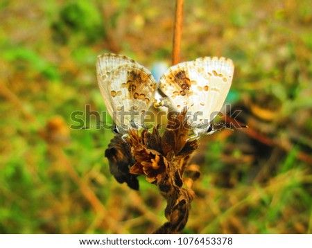 Chilades pandava,the plains Cupid mating , is a species of lycaenid butterfly found in India,Sri Lanka, Myanmar, United Arab Emirates etc.They breed on plants of the cycad class. #1076453378