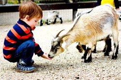 Child feeds goat at zoo