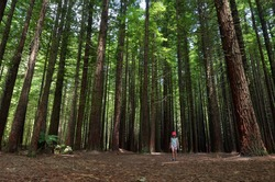 Child hiking outdoors in Redwoods Rotorua, New Zealand. Real people. Copy space