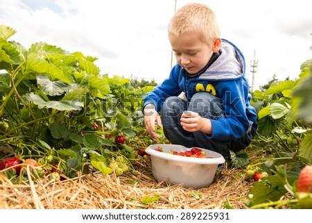 Child picking strawberries #289225931