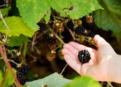 Child picking wild blackberries on a bush; blackberries ripening on the branch