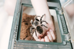 child's hand holding spider tarantula . boy returns Brachypelma albopilosum to terrarium. Open terrarium cover for spiders.