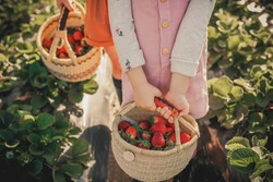 Children hold baskets with strawberries in their hands on a strawberry field.