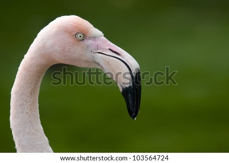 Chilean Flamingo - stock photo