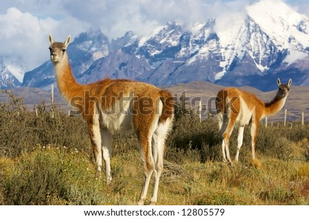 chilean guanacos or patagonian lamas in the grass close to the torres del paine natural park.