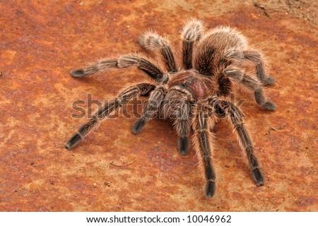 Free Photos Tarantula Molt Rose Haired Spider Avopix Com