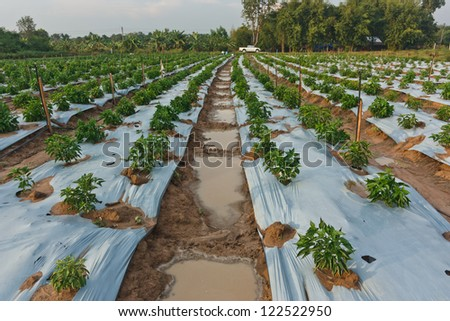Chili pepper farmers planted crops. The pepper plant is a lot to see in a row. Care for easier watering. Harvest, quick and convenient.
