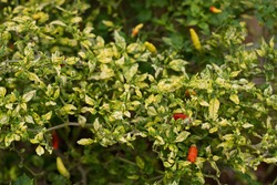 Chili pepper leaves disease infected by gemini virus (begomo virus), yellowing curl in young leaves.