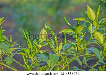 chili tree, chili, red chili, red and green chili #1314556421