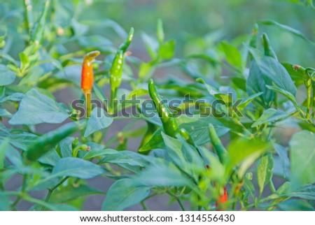 chili tree, chili, red chili, red and green chili #1314556430