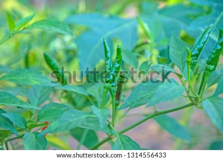 chili tree, chili, red chili, red and green chili #1314556433