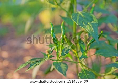 chili tree, chili, red chili, red and green chili #1314556439