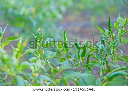 chili tree, chili, red chili, red and green chili #1314556445