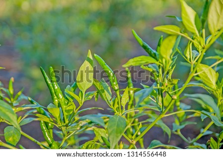 chili tree, chili, red chili, red and green chili #1314556448