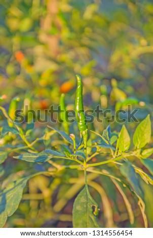 chili tree, chili, red chili, red and green chili #1314556454