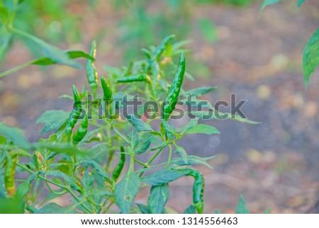 chili tree, chili, red chili, red and green chili #1314556463