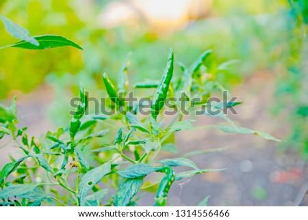 chili tree, chili, red chili, red and green chili #1314556466