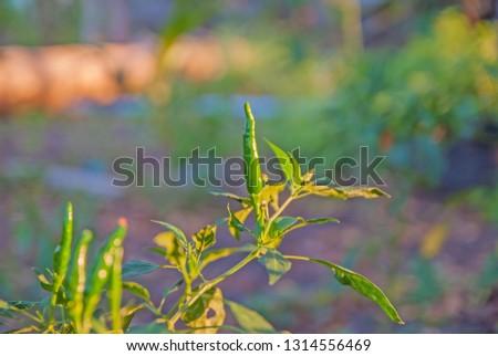 chili tree, chili, red chili, red and green chili #1314556469