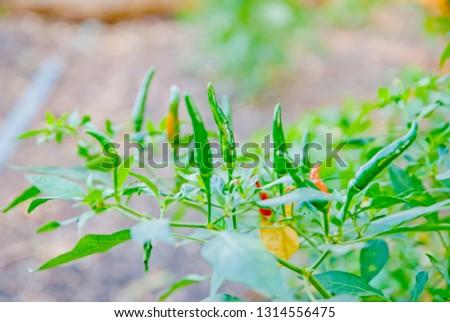 chili tree, chili, red chili, red and green chili #1314556475