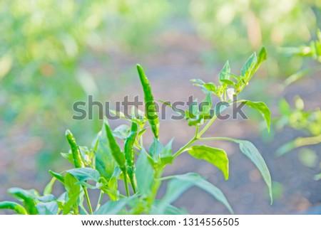 chili tree, chili, red chili, red and green chili #1314556505