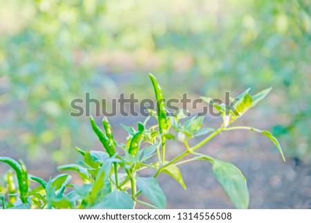 chili tree, chili, red chili, red and green chili #1314556508