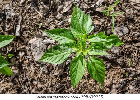 chilli plant  #298699235