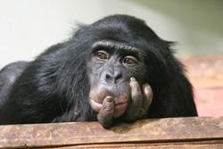 Chimp chimpanzee monkey ape sad (Pan troglodytes) great ape monkey common chimpanzee chimp resting looking sad emotion hand to mouth stock, photo, photograph, image, picture