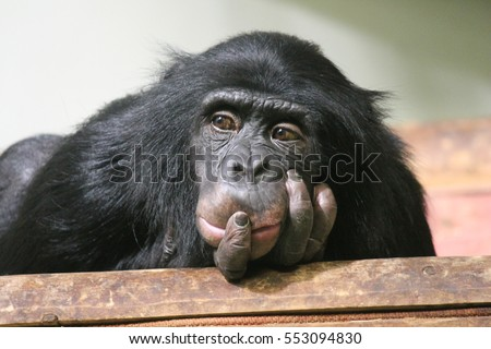Chimp chimpanzee monkey ape sad (Pan troglodytes) great ape monkey common chimpanzee resting looking sad emotion hand to mouth #553094830