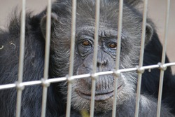 chimp in a cage