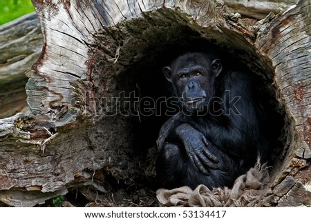 chimp in a hollow tree