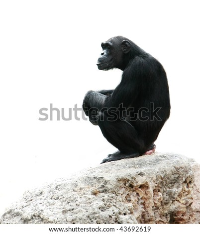 chimp sitting on rock, isolated over white - stock photo