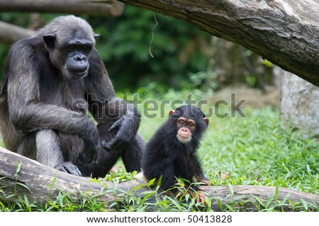 chimpanzee and it's cute baby