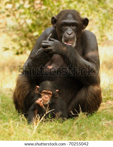 Chimpanzee baby with mother posing for a photo