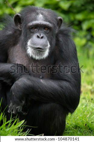 Chimpanzee/Chimpanzee profile against a background of leaves - stock photo