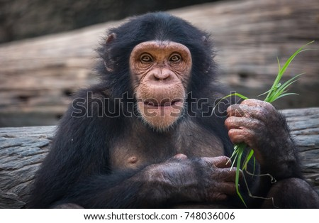 Chimpanzee close up view with grass