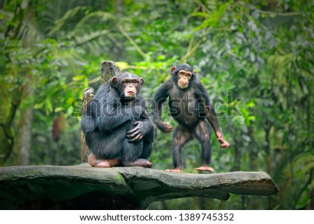 Chimpanzee consists of two extant species: common chimpanzee and bonobo. Bonobos and common chimpanzees are the only species of great apes that are currently restricted in their range to Africa Сток-фото ©
