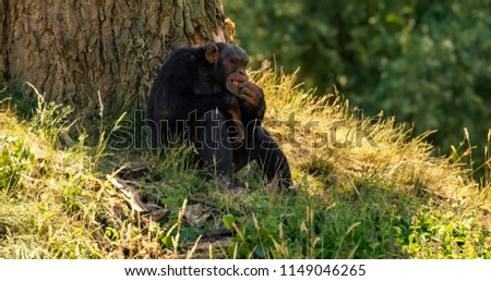 chimpanzee eating grass 1
