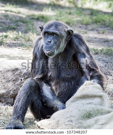 Chimpanzee eats from the bag