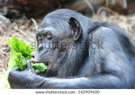 Chimpanzee eats greenery