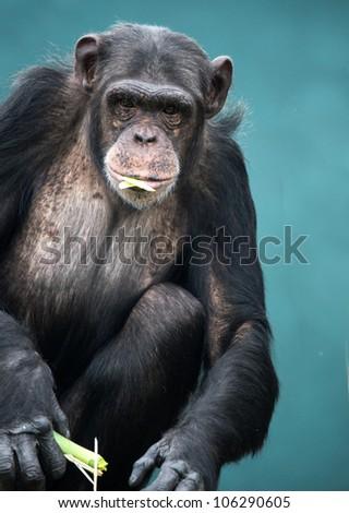 Chimpanzee, eye contact, blue background/Chimpanzee
