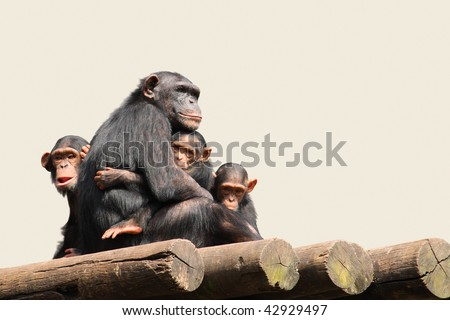 Chimpanzee Family - Mother with her infants.