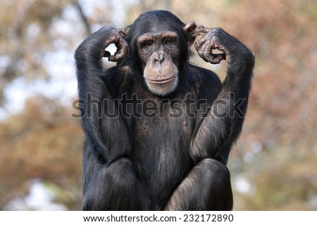 Chimpanzee hear no evil